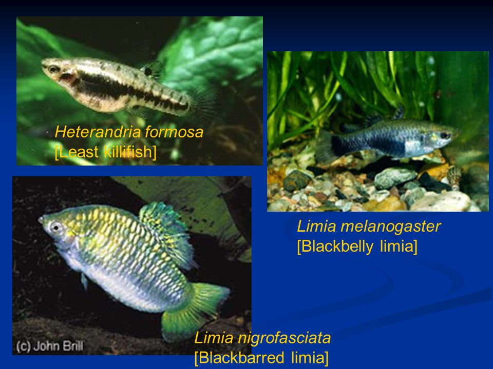Heterandria formosa [Least killifish]